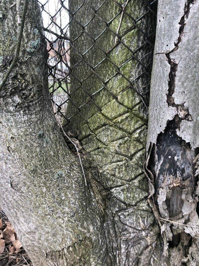 17. «Дерево растёт через забор» в мире, подборка, природа, удивительно, фото