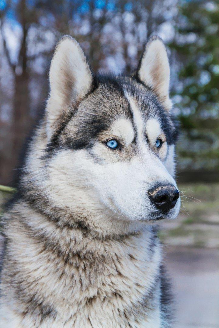 Собака удивительной красоты сама пришла проситься в приют животные, собаки, хаски