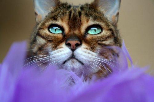 Молли-чан: бенгальская кошка с потрясающими глазами