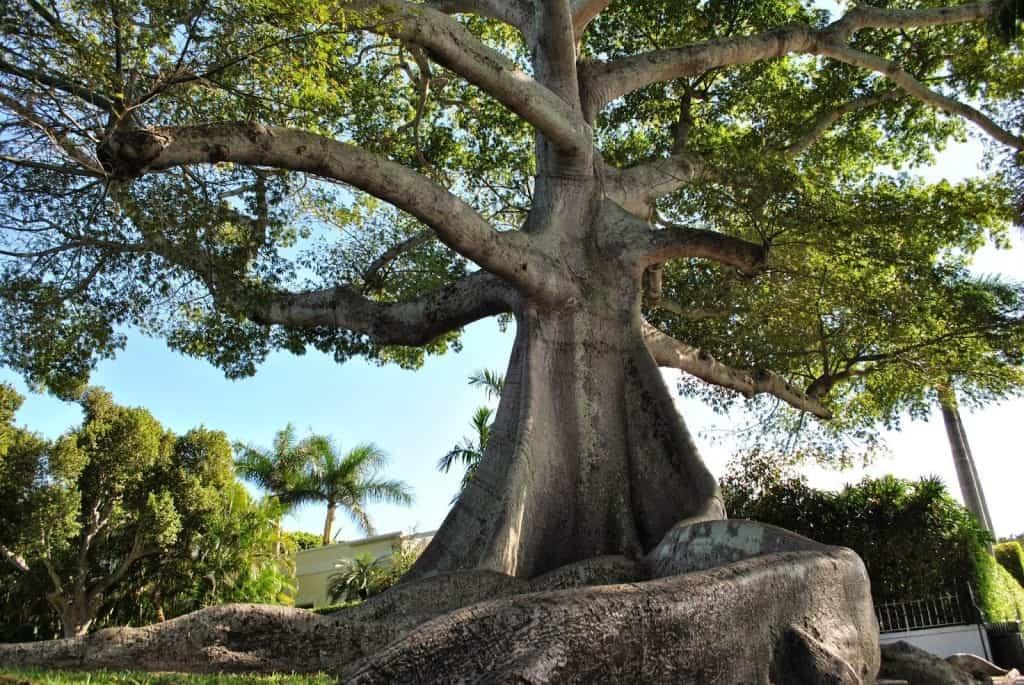 деревья южной америки фото волкособы вполне