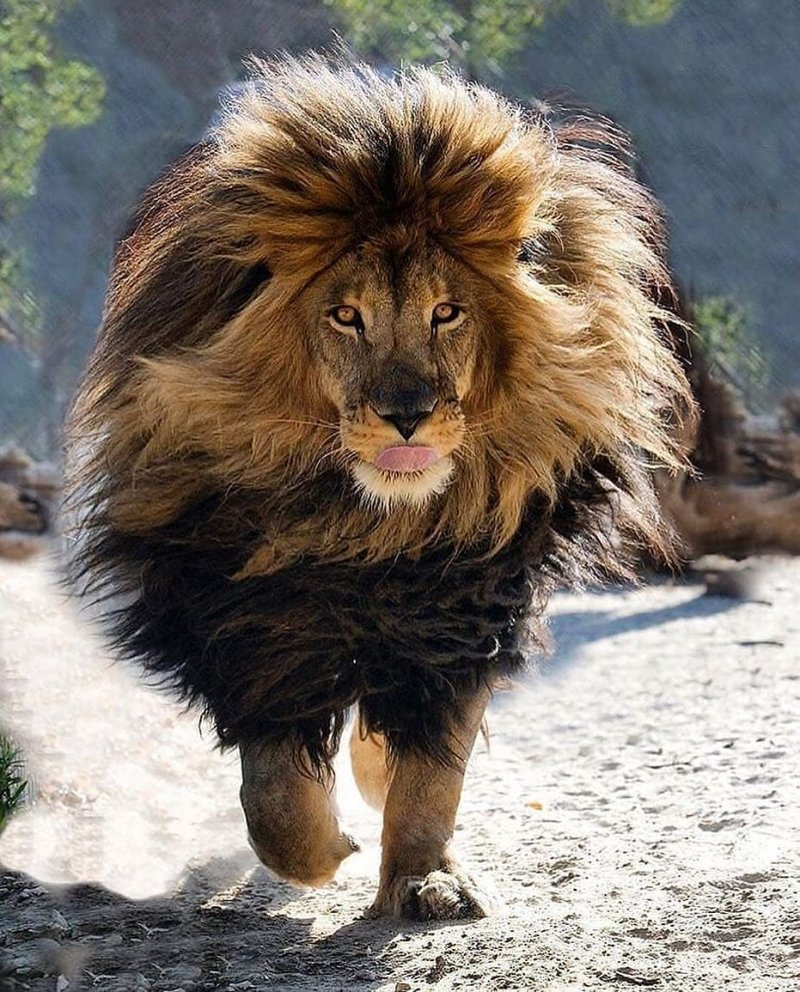 бегать, или прикольные картинки львов на аву целом