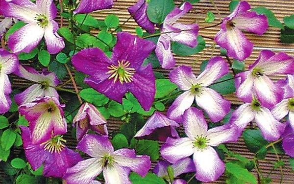Клематис фиолетовый (C. viticella) Minuet