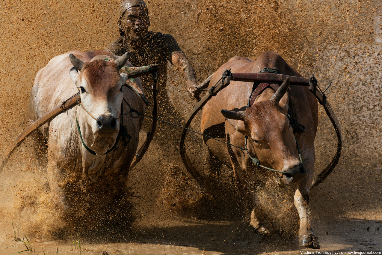 Cow Race или гонки на быках