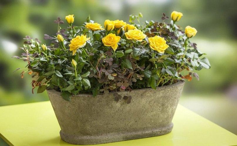 Комнaтные миниaтюрные розы