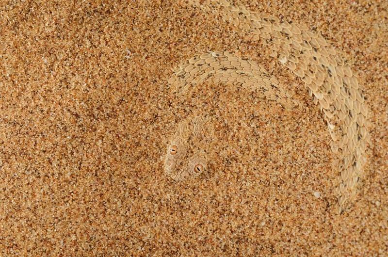 12. Карликовая гадюка прячется в песке. планета земля, удивительные фотографии, человек