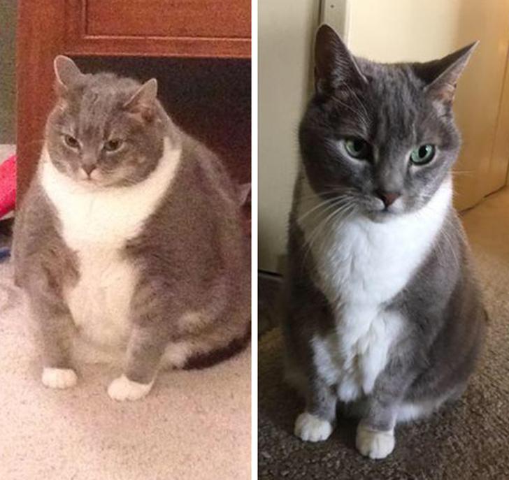 Как Сделать Чтобы Кот Похудел. Как заставить похудеть кошку с избыточным весом