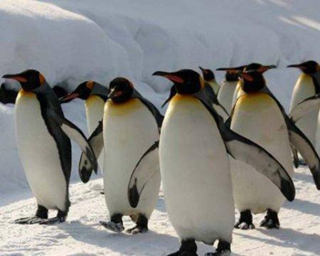 Пингвины нечаянно сняли заба…