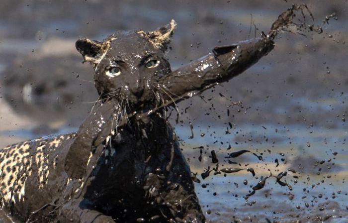Леопард «порыбачил» в грязи