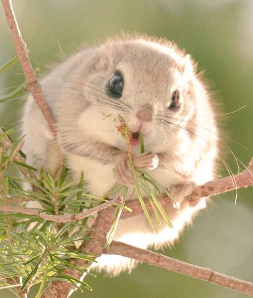 Японские и сибирские белки-летяги: самые очаровательные малышки