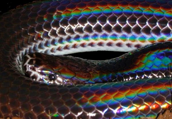 Лучистая змея (7 фото)