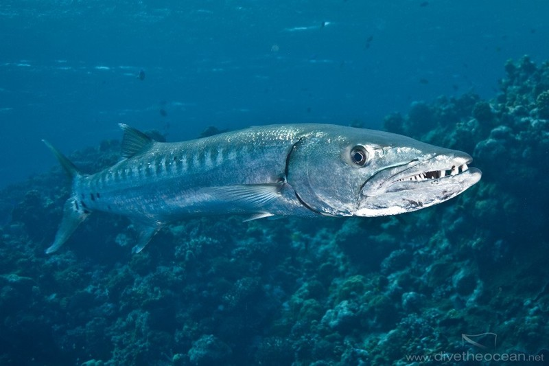 Большие барракуды животные, интересное, море, опасность, подборка, факты, фауна