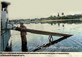 В Кубенском озере возрождают популяцию нельмы