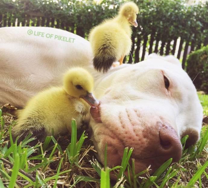 Дружба собак с утятами