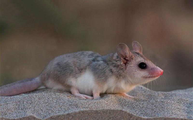 Патагонский опоссум  Оппосум, крысовидные