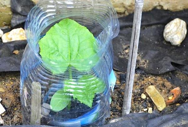 Необычный способ вырастить овощи