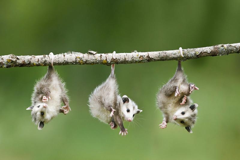 Разнообразие видов Оппосум, крысовидные