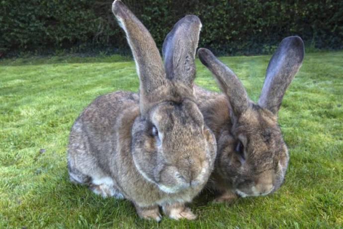 У Дария, самого большого кролика в мире, подрастает такой же огромный сын
