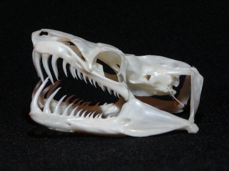 Собакоголовый удав - обладатель самых длинных зубов среди неядовитых змей животные, занимательно, интересно, необычно, природа, ракурс, факты