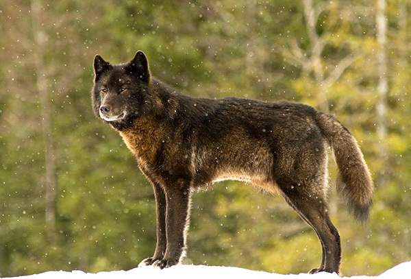 к его собаке подошел дикий волк