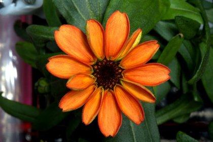 Оранжевый цветок вырос Космосе