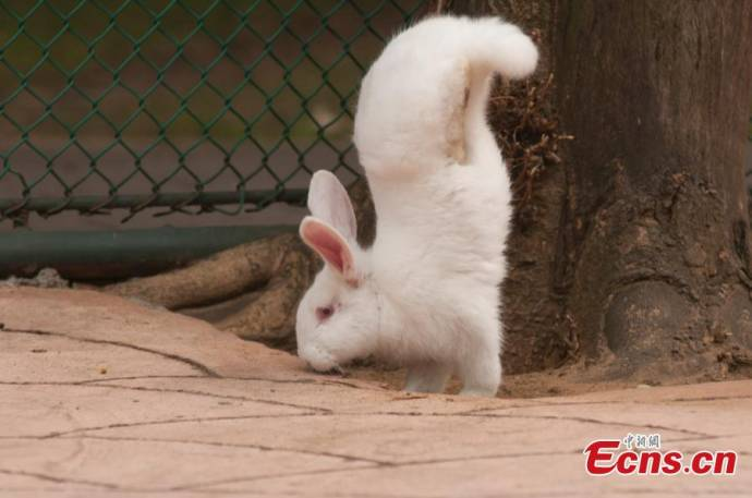 Кролик с парализованными задними лапками научился ходить на передних