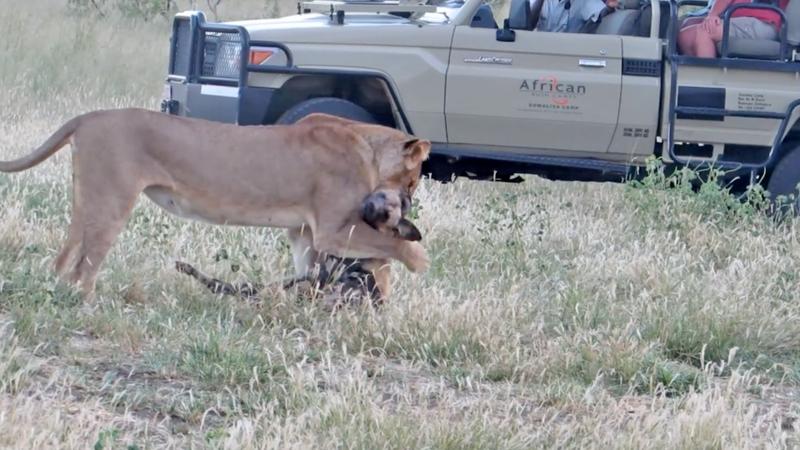 Дикий пёс перехитрил жадную львицу на глазах у туристов в Африке Дикий пёс, африка, в мире, видео, животные, львица