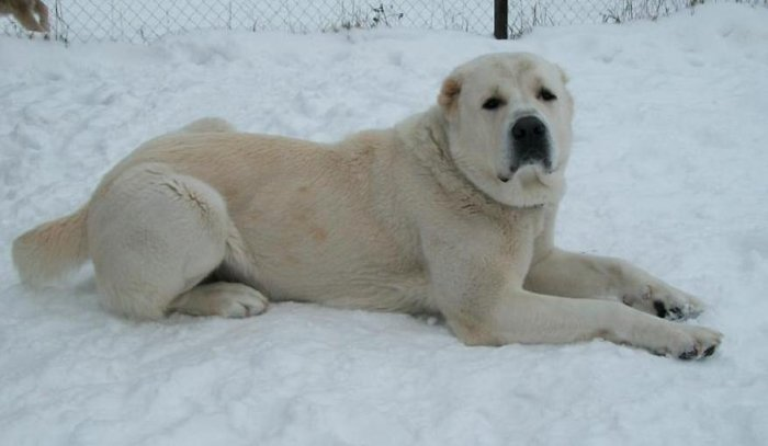 Самые большие в мире собаки