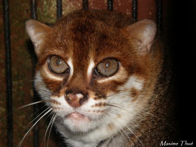 Дикие кошки: ржавая кошка с плоской головой