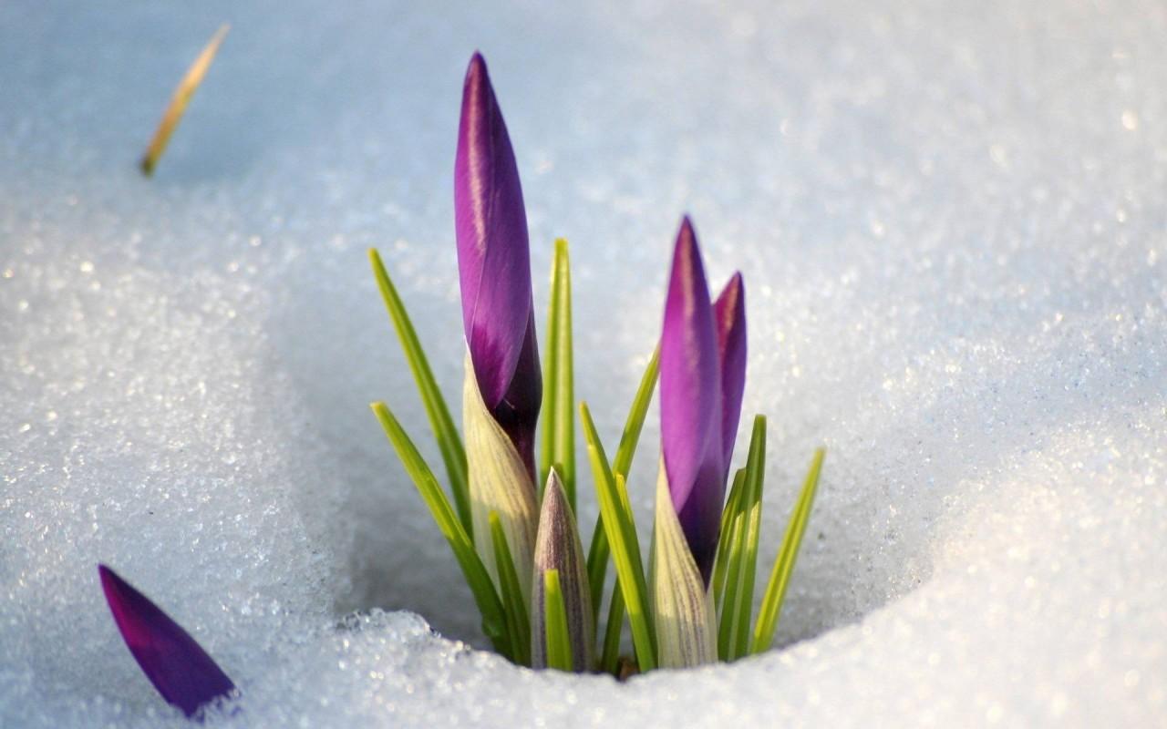 Где-то под снегом. Весна уже тихонько дышит