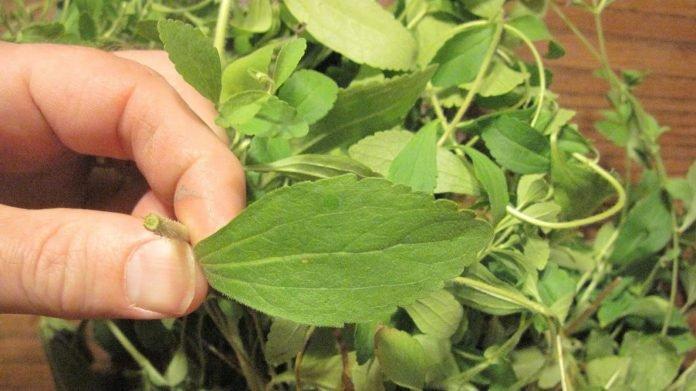 Хотите бросить курить? Эта трава мгновенно разрушает Ваше желание принять порцию никотина!