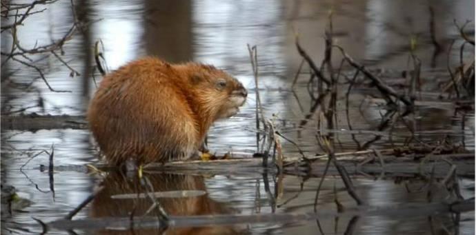 В Челябинске на реке Миасс поселились ондатры
