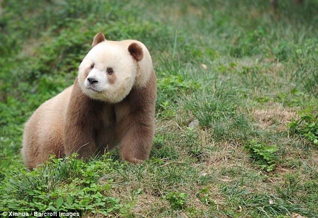 Уникальной коричневой панде нашли подходящую партнершу и теперь ждут потомства