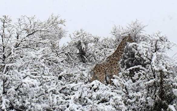 Жирафы под снегом