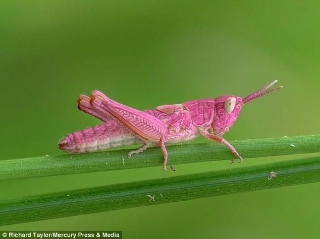 Удивительная природа: розовый кузнечик