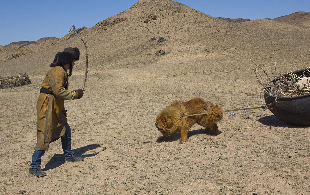 История появления Тибетского мастифа в Казахстане