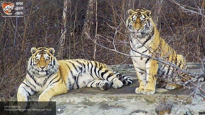 В Приморье отмечают день тигра