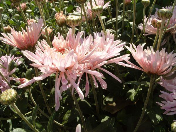 Черенкование хризантем: как, когда, сколько