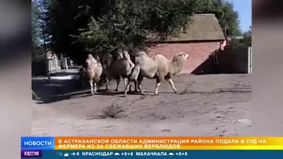 Верблюды-беглецы стали проблемой для властей под Астраханью