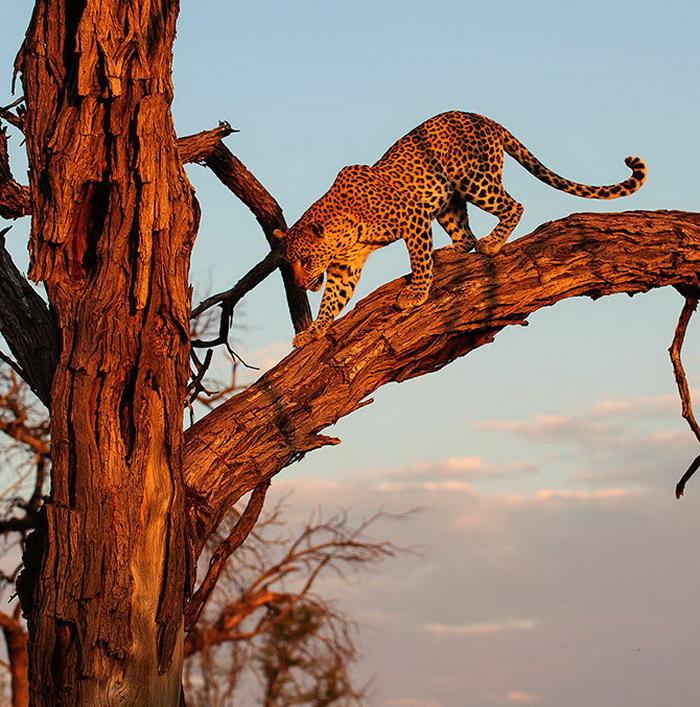 Фотограф провел сутки около леопарда, сделав ряд необычных снимков