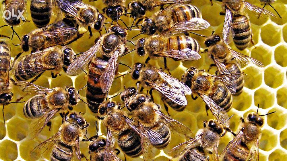 Выборы в животном мире: политическая система у обезьян , пчел и  даже у бактерий