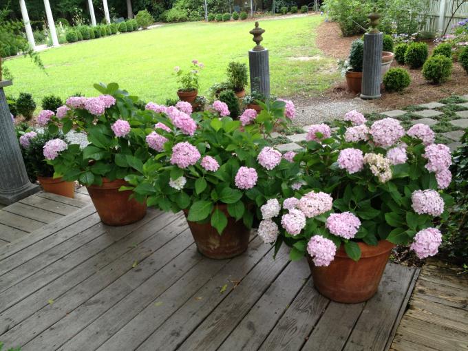 Кадочные экзоты в саду: возможности использования и правила выращивания