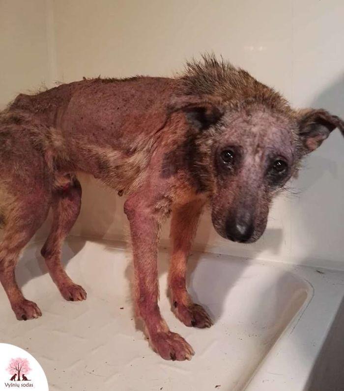 В Литве выходили облысевшего пса, несколько месяцев жившего в заброшенном доме