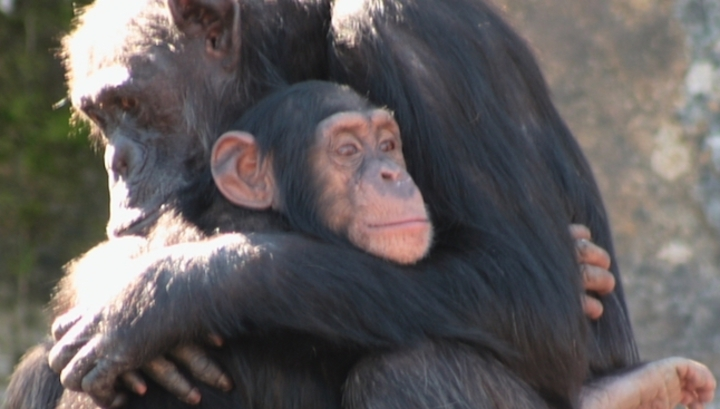 Шимпанзе, как люди, строят дружбу на доверии