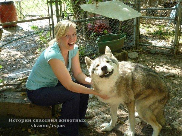 Спасенный волк в заповеднике.