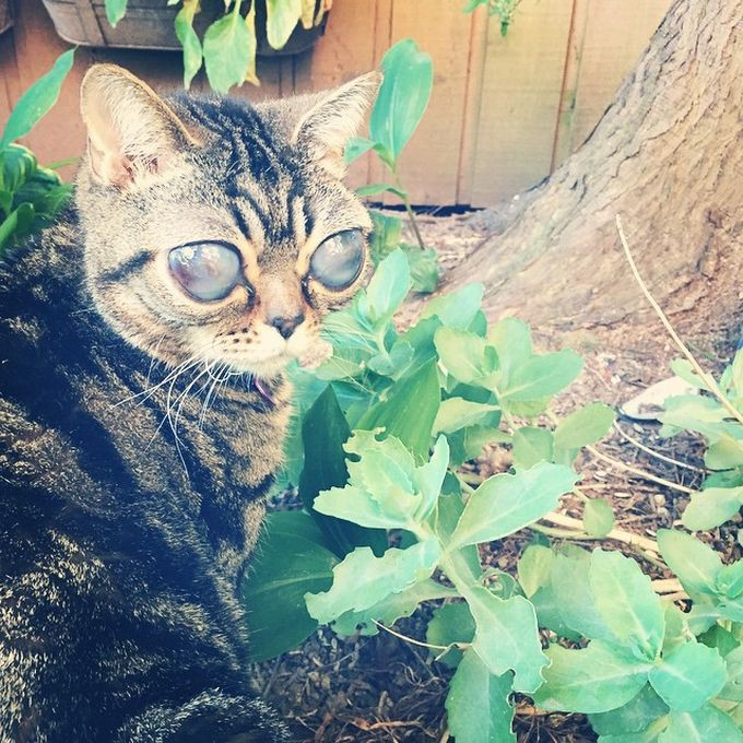 фото кошка инопланетянка из Британии