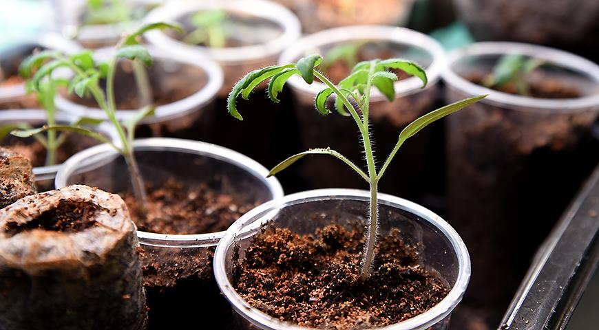 Рассада помидоров: как правильно посеять семена томатов на рассаду в условиях квартиры дача,сад и огород,семена и рассада