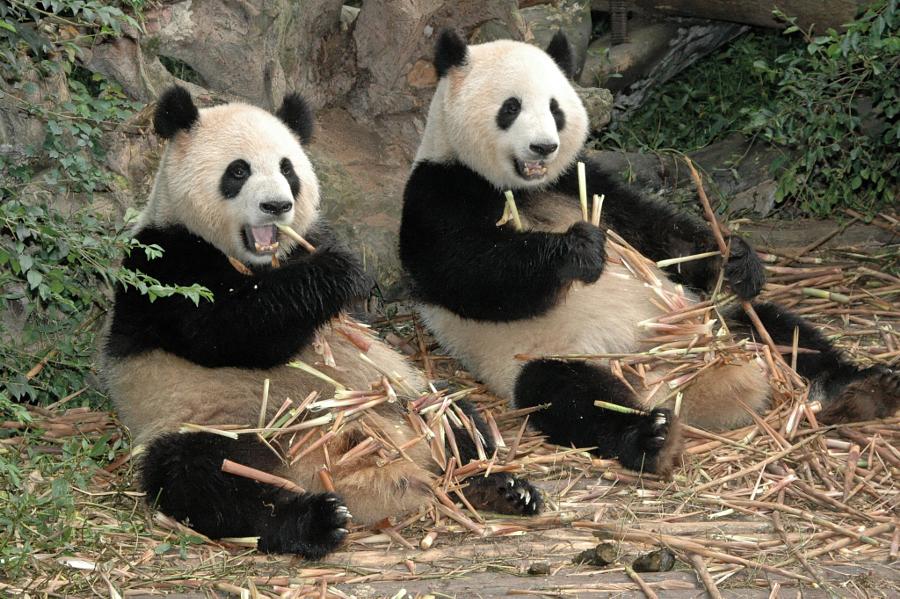 Картинки, панда картинки приколы