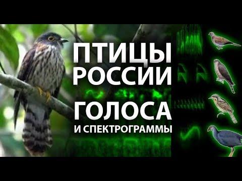 Птицы России. Голоса и спектрограммы.