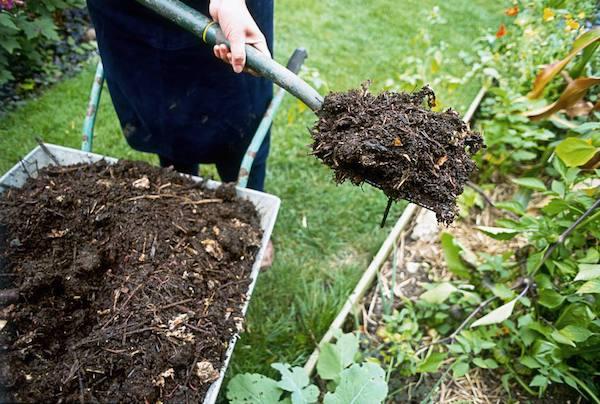 Мульчирую посадки конским компостом