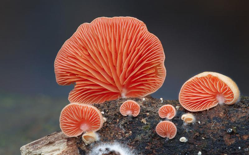 16. Crepidotus Крепидот. грибы, интересное, фото